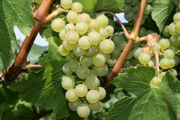 Сорт винограда: Шардоне