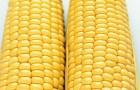 Сорт кукурузы: Шаролта