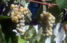 Сорт винограда: Шасла белая