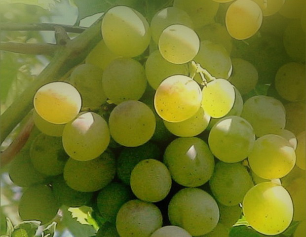 Сорт винограда: Шасла мускатная