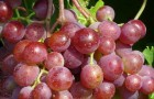 Сорт винограда: Шасла розовая