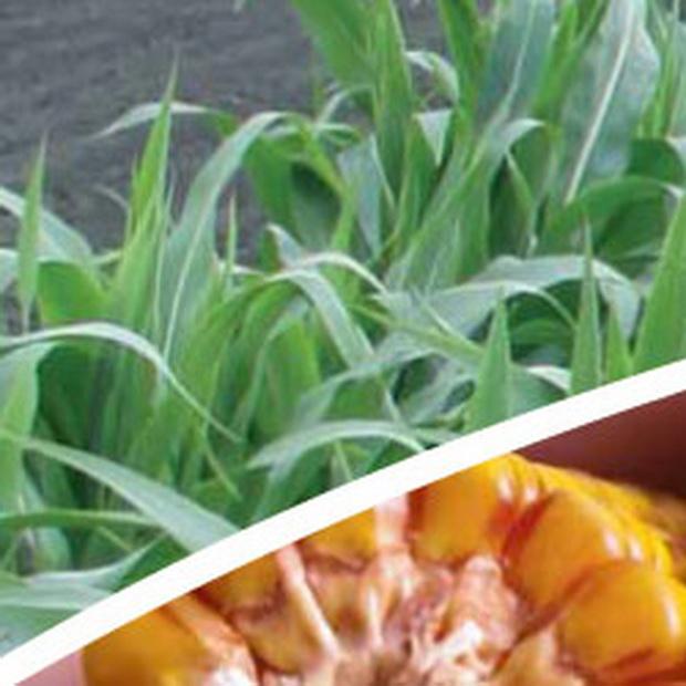 Сорт кукурузы: Салотто