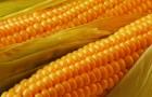 Сорт кукурузы: Самбез 175 мв