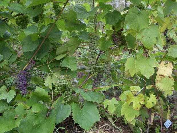 Сорт винограда: Саперави северный