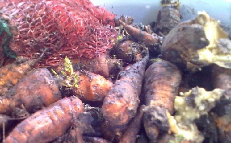 Серая гниль моркови