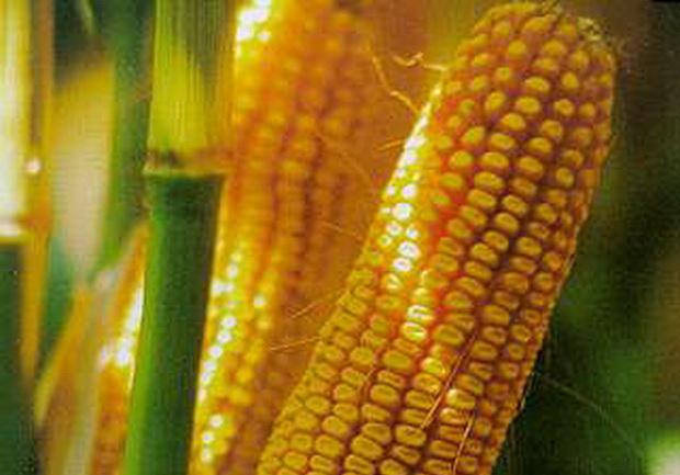 Сорт кукурузы: Северокубанский 280 мв