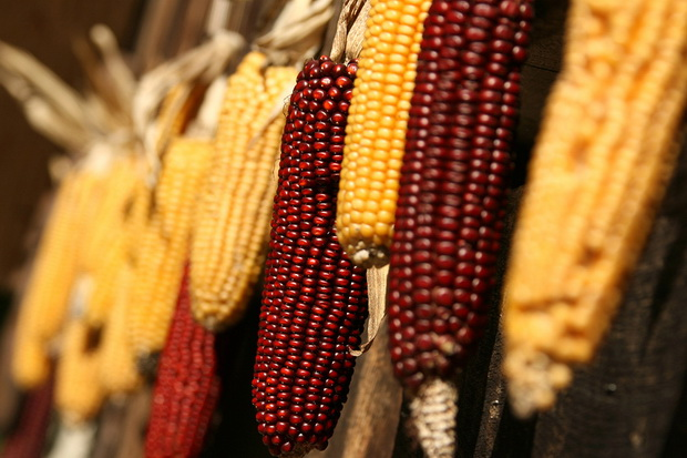 Сорт кукурузы: Северский 190 мв