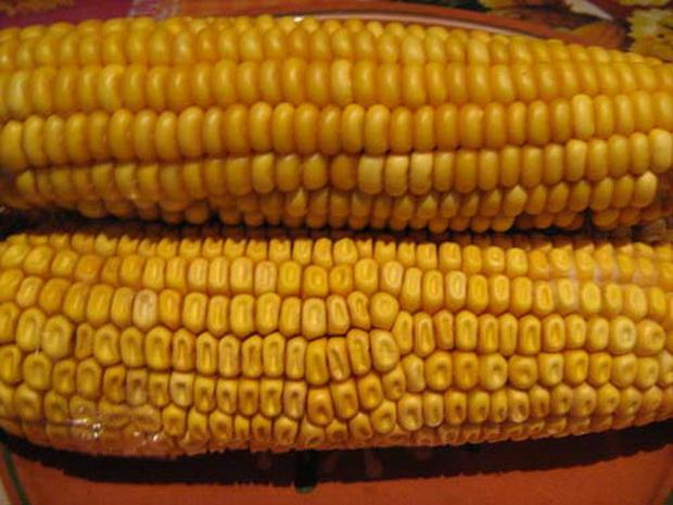 Сорт кукурузы: Сфинкс