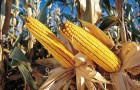 Сорт кукурузы: Си новатоп