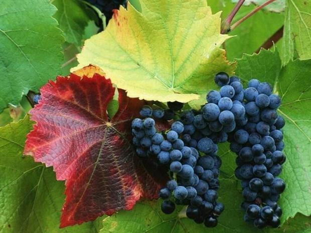 Сорт винограда: Сибирьковый