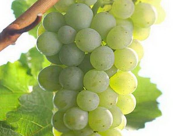 Сорт винограда: Сильванер