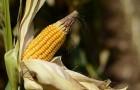 Сорт кукурузы: Ск 184