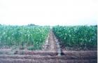 Сорт кукурузы: Ск 455