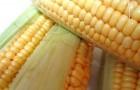 Сорт кукурузы: Скафор