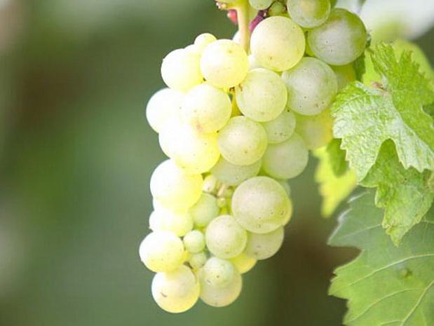 Сорт винограда: Слава дербента