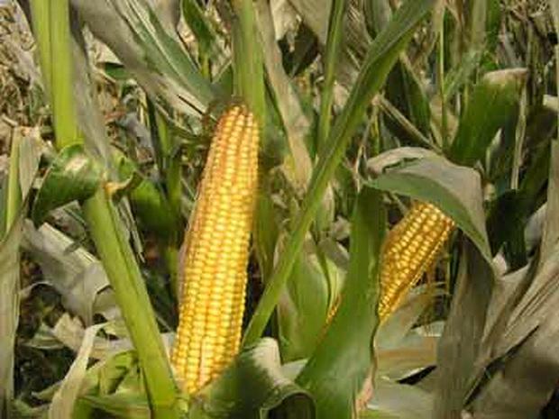 Сорт кукурузы: Славянка