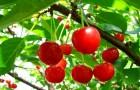 Список чудесных свойств вишни