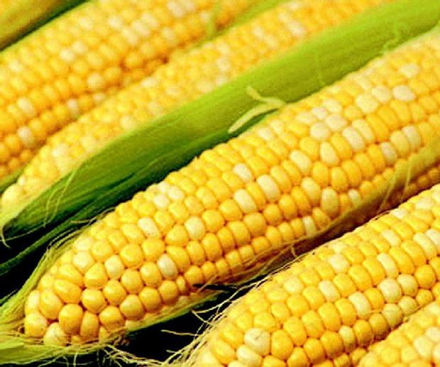 Сорт кукурузы: Ставропольская 1