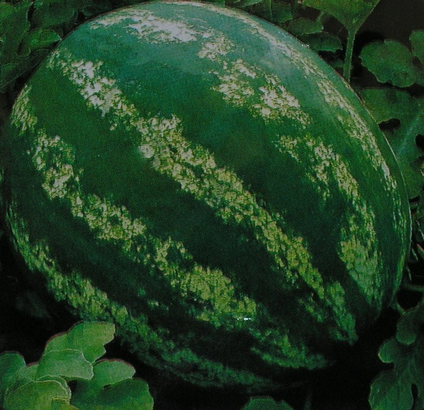 Сорт арбуза: Стетсон   f1