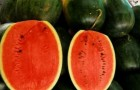 Сорт арбуза: Стимул