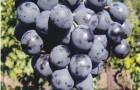 Сорт винограда: Страшенский