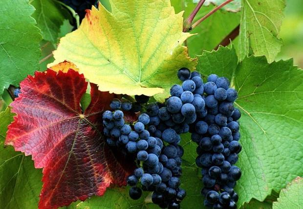 Сорт винограда: Стременной