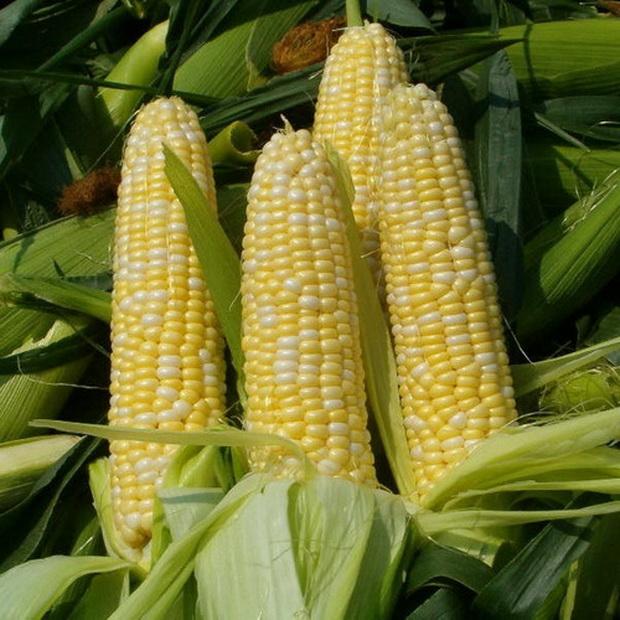 Сорт кукурузы: Судоку