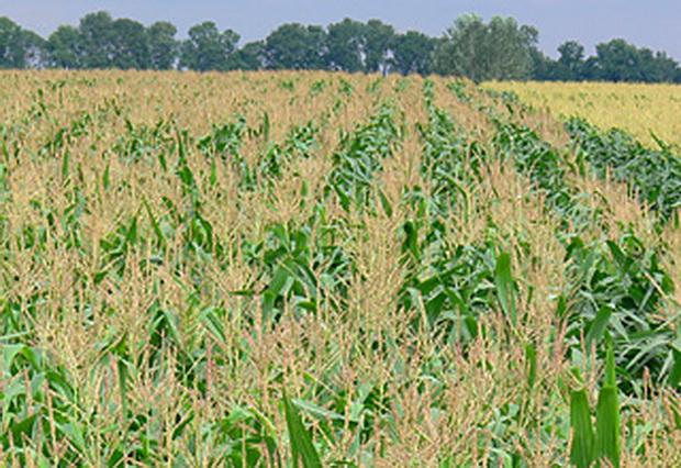Сорт кукурузы: Сулекса