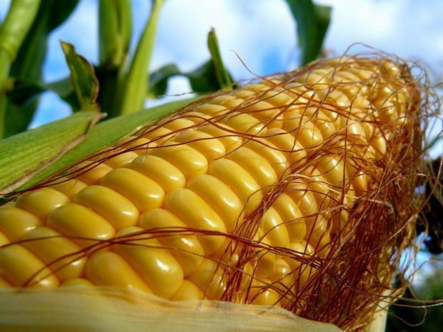 Сорт кукурузы: Сутоло