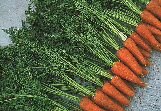 Церкоспороз моркови