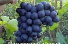 Сорт винограда: Цимлянский черный