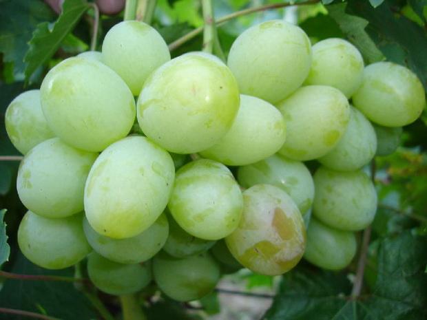 Сорт винограда: Цветочный