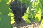 Сорт винограда: Тавквери магарача