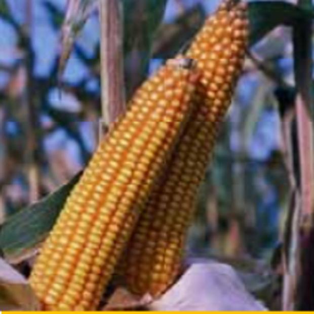 Сорт кукурузы: Текни кс