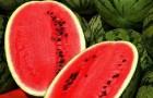Сорт арбуза: Тоутал f1