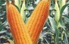 Сорт кукурузы: Труази кс
