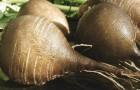 Туберкулез корней столовой свеклы