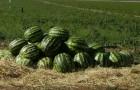 Сорт арбуза: Удалец f1