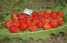 Сорт земляники: Урожайная цгл