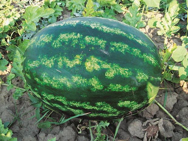 Сорт арбуза: Варда   f1