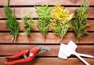 Вегетативное размножение хвойных растений