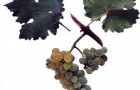Сорт винограда: Виорика
