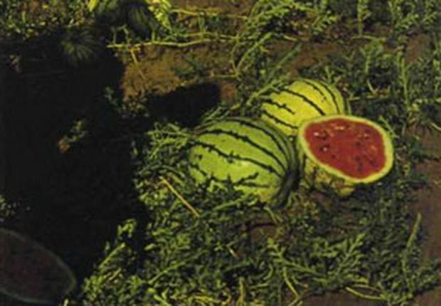 Сорт арбуза: Внииоб 2   f1