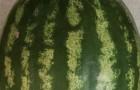 Сорт арбуза: Волгоградец крс 90