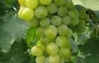 Сорт винограда: Восторг