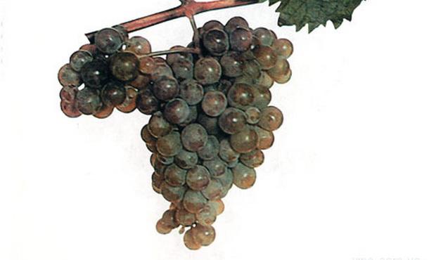 Сорт винограда: Выдвиженец
