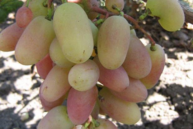 Сорт винограда: Юбилей тсха