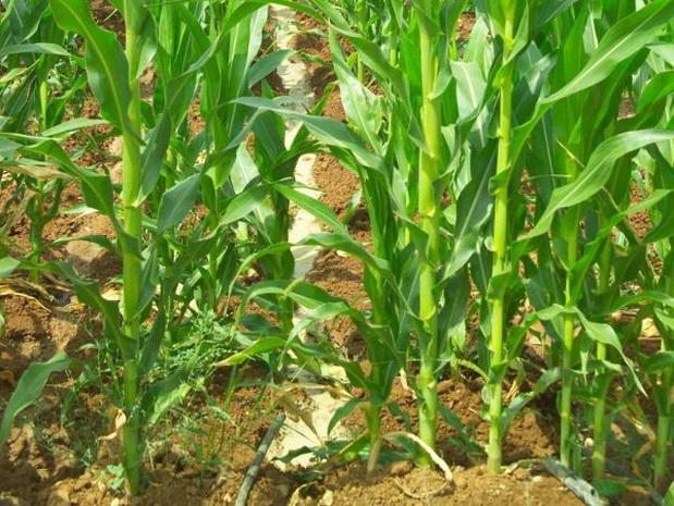 Сорт кукурузы: Южанка