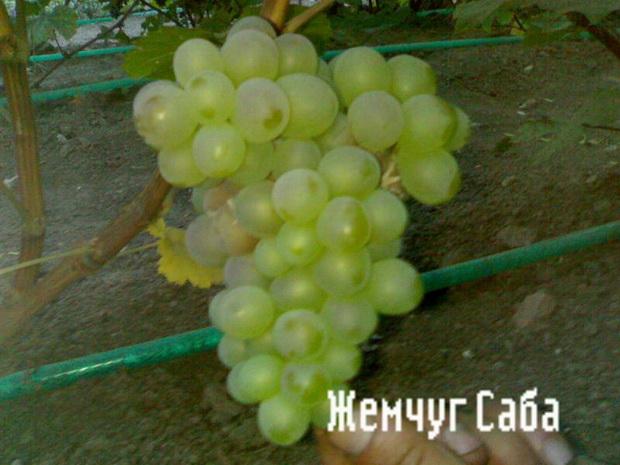 Сорт винограда: Жемчуг саба