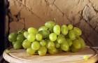 Сорт винограда: Зеленолугский рубин
